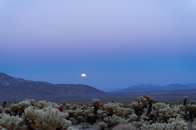 Super moon rises above the mountains over the Cholla Cactus garden in Joshua Tree National Park at sunset