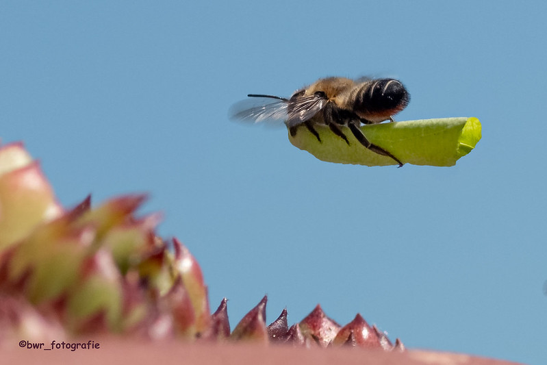Blattschneidebienen-Luftpost