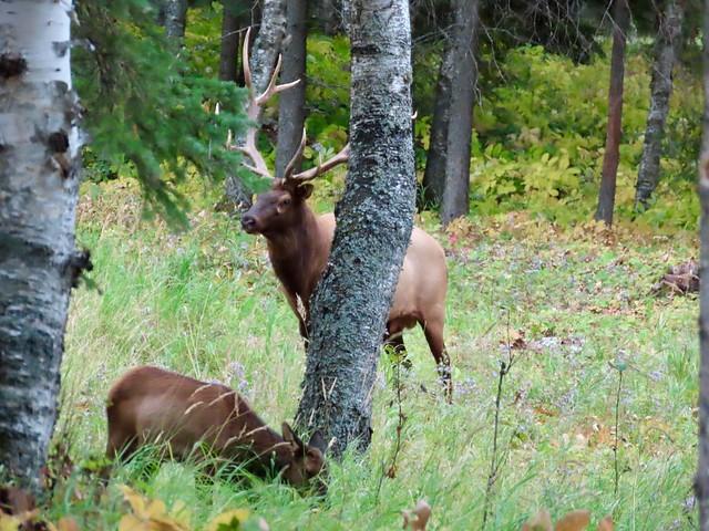 Day 7 -  Flin Flon MB to Prince Albert SK - Elk near the Hamlet of Waskesiu Lake