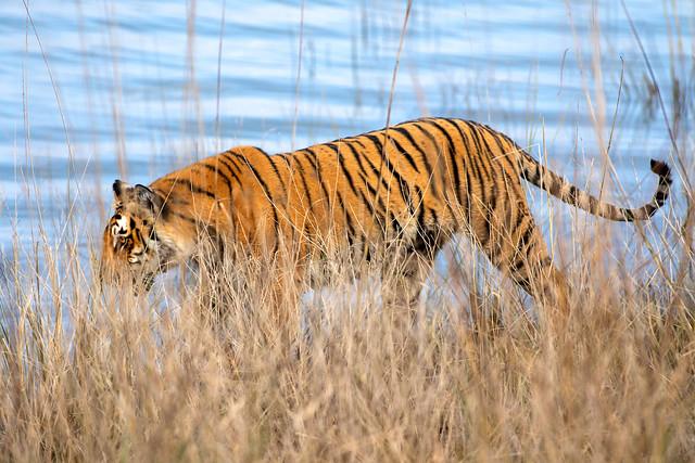 Tiger, Dhikala grasslands