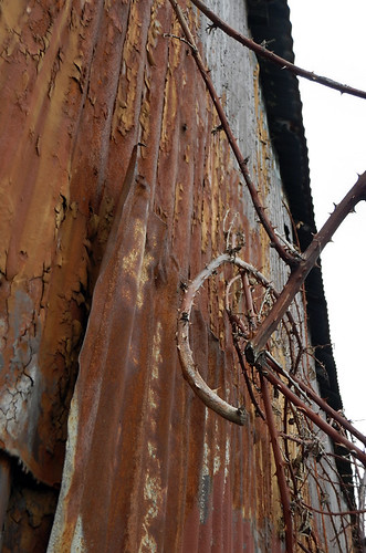 Rusted corrugated wall with bramble thorns in Vancouver, Canada