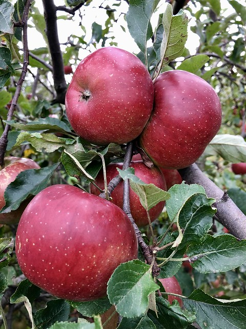 Sweet apples 🍎❤️ 100% bio😊