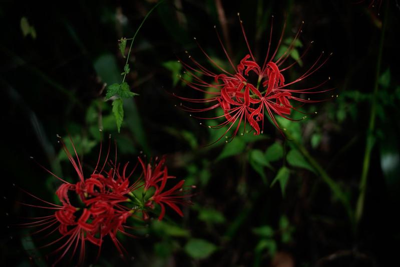 """HANNYA-JI"" temple's manjushaka flowers"