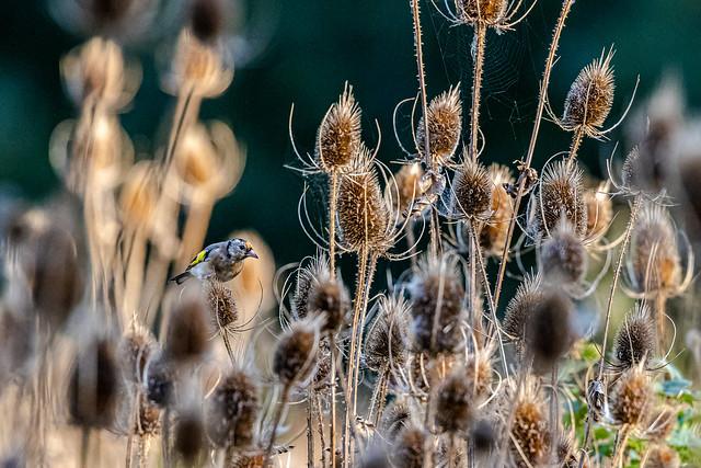 Chardonneret élégant - Carduelis carduelis - European Goldfinch -
