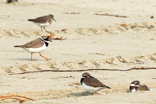 Common Ringed Plover | by brad.schram