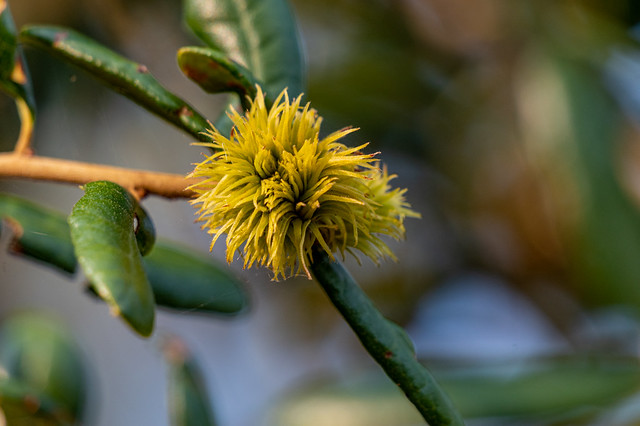 Southern Live Oak Flower