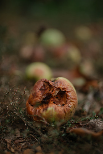 Rotten apple on ground closeup. | by shixart1985