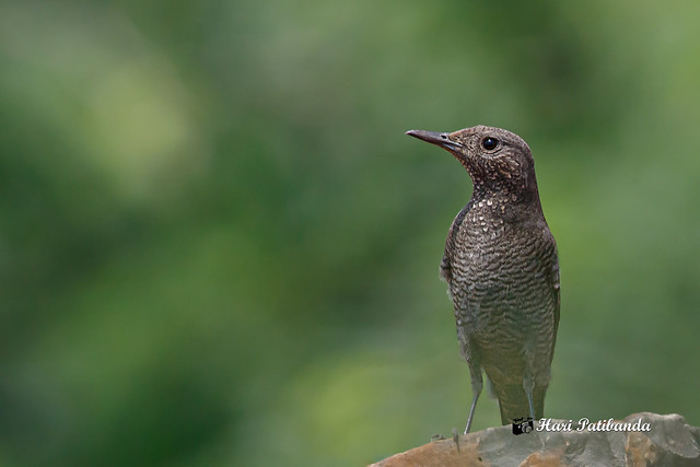 A Female Blue Rock Thrush Surveying the area