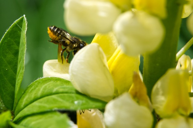 Solitary Bee on Lupin in My Garden