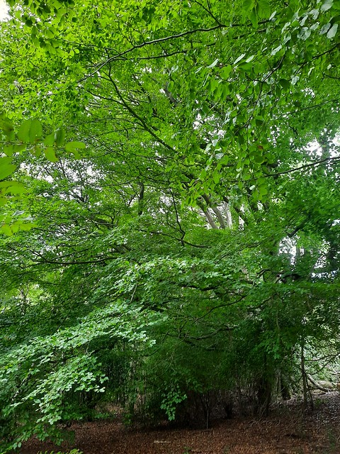 Beech tree in Woolbeding Common, West Sussex 1