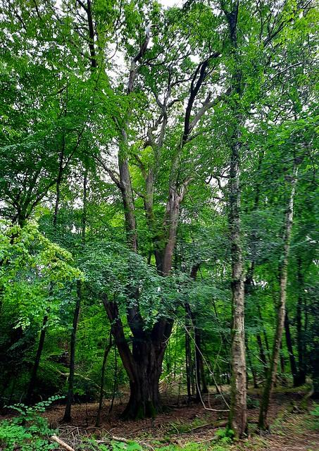 Beech tree in Henley Common, West Sussex