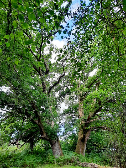 Two oak trees by Holly Hills, Liphook, Hampshire