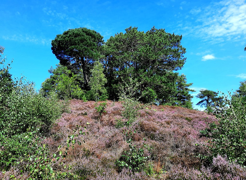 Trees and heather in Holly Hills, Hampshire