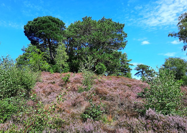 Heather and trees in Holly Hills, Liphook, Hampshire