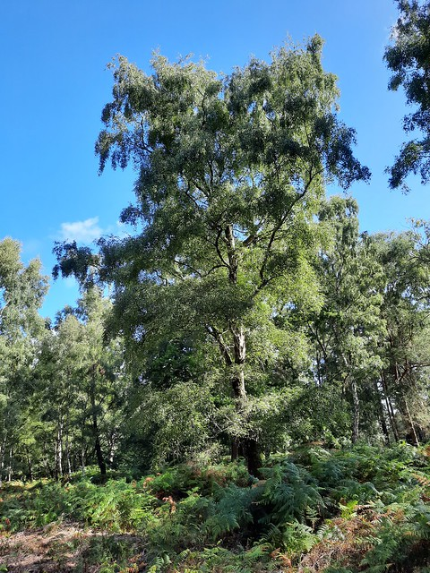 Silver birch in Stanley Common, Liphook, Hampshire