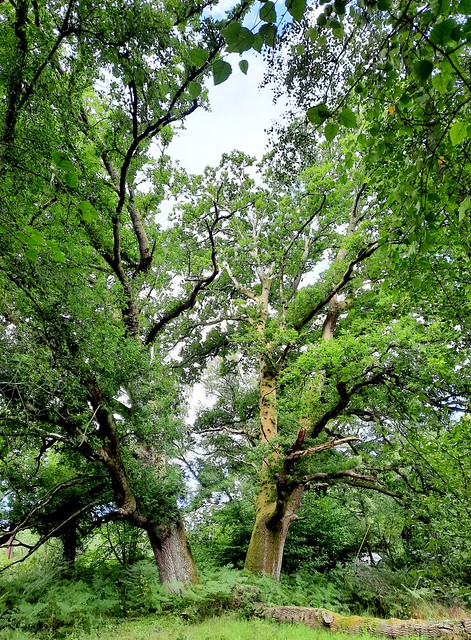 Two oak trees by Holly Hills, Liphook, Hampshire 2