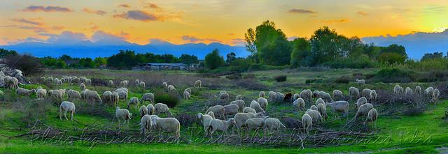...τὰ πρόβατα τῆς νομῆς Mου   The lambs of My herbage  Panorama