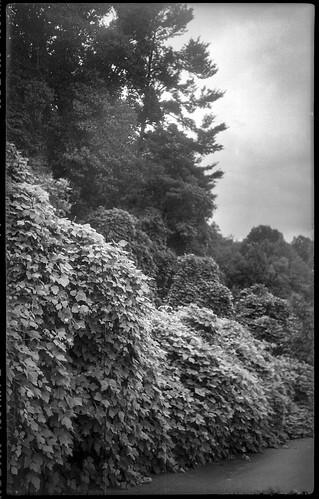 kudzu kudzucovered landscape buffer lowes leicesterhighway asheville northcarolina kochmannkorelle folder 127film kodaktmax400 hc110developer mediumformat monochrome monochromatic blackandwhite
