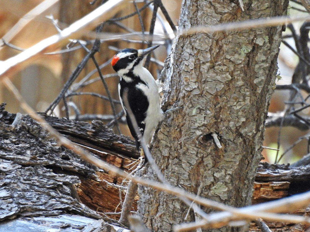 Hairy Woodpecker Male