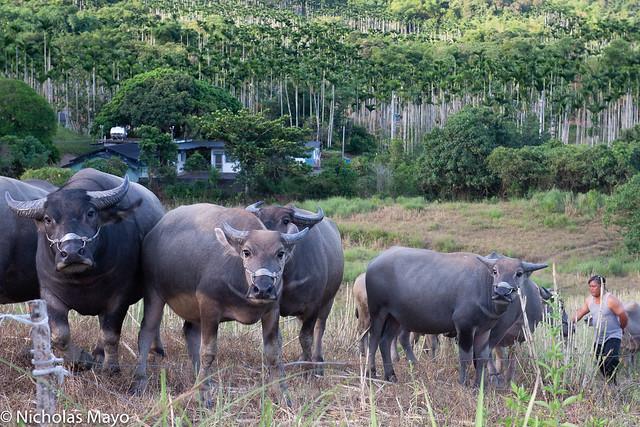 Water Buffalo Herd Surveying Stranger