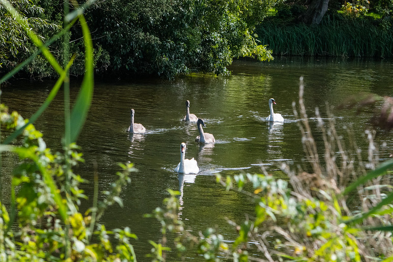 Hopeful swan family, River Avon