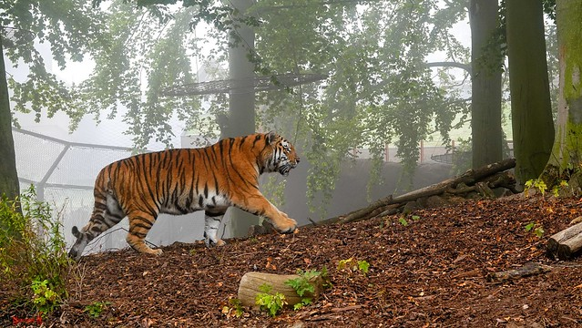 Tiger in the Mist - 8926