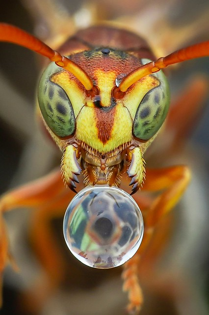 Paper wasp blowing water bubble