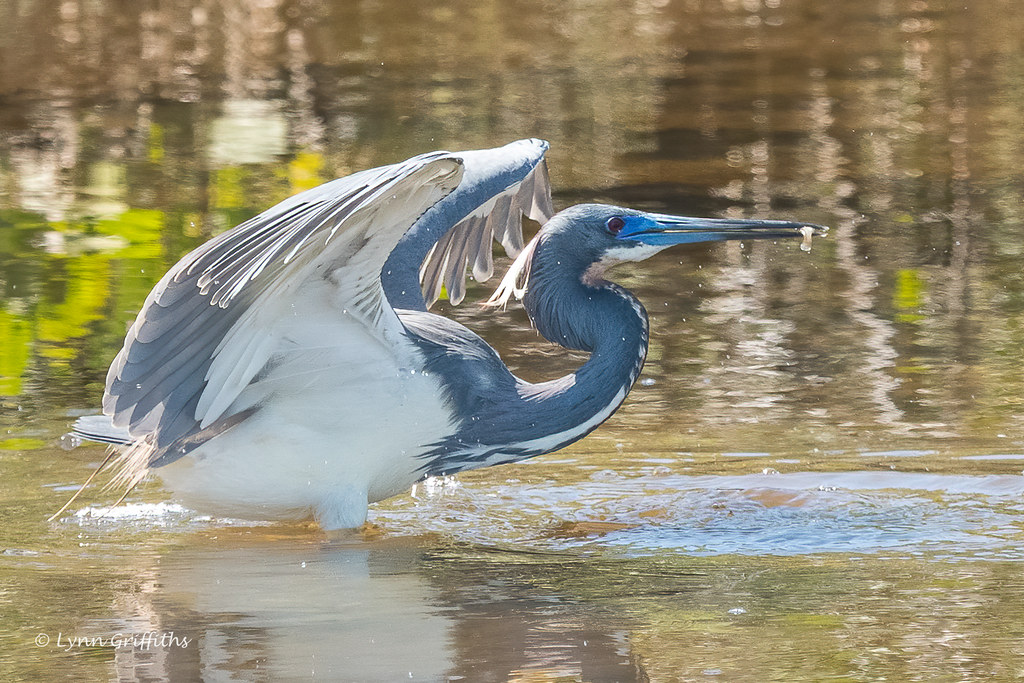 Tricoloured Heron 502_4682.jpg