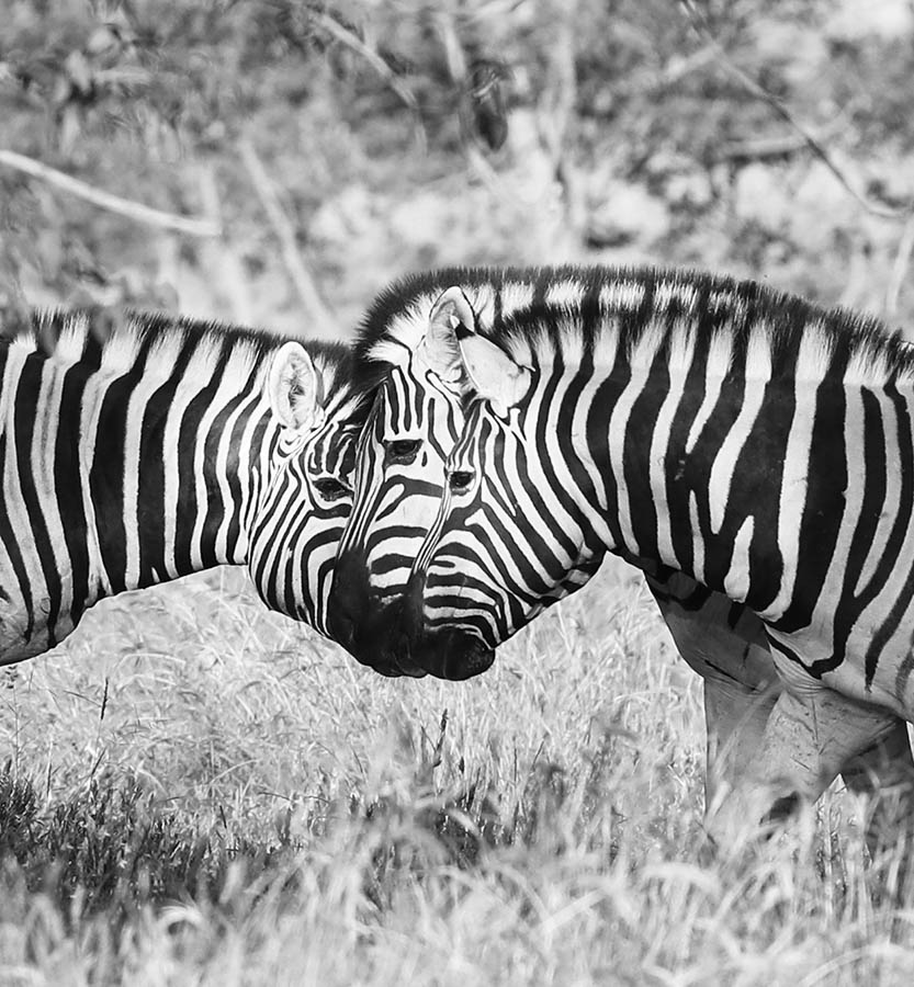 Zebras - Ongava Private Game Reserve - Namibia
