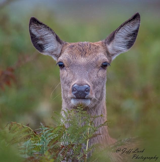 DSC2859  Red Deer Hind....