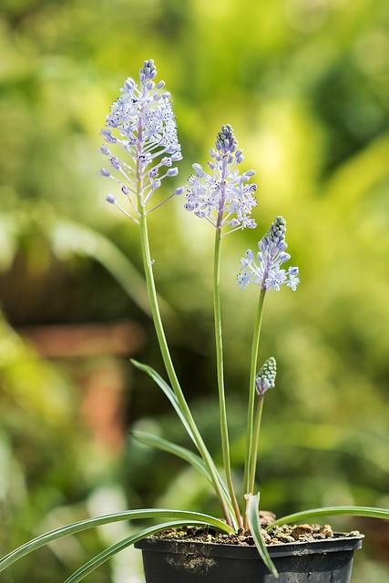 Scilla litardierei 3782-1; Asparagaceae (1)