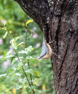 Nuthatch through the window