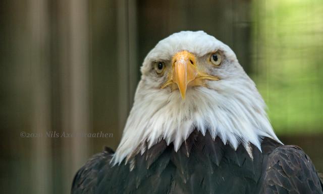 J77A3535 -- Bald Eagle face-to-face