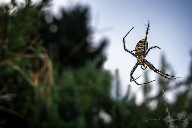 Yaban Arısı Örümceği (Wasp Spider)