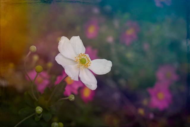 Autumn Anemone - In Memory of Bob