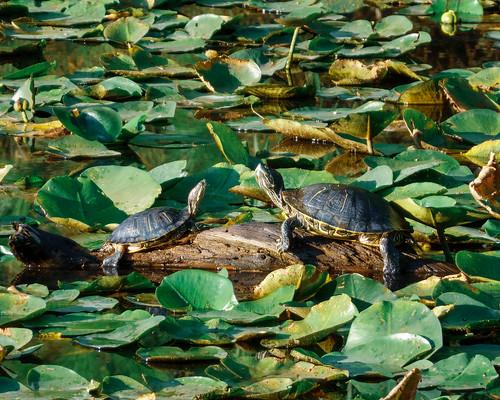 turtle houston arboretum texas landscape nature sonyrx100v1