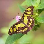 Malachite Butterfly (7).