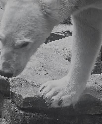 baltimore maryland mdzoo polarbear mono bw iphone hss cmwd