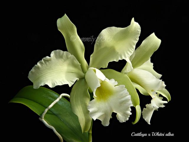 Cattleya x Whitei var. alba