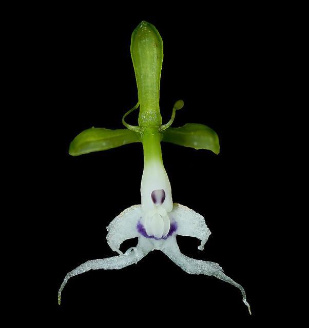 Epidendrum cirrhochilum