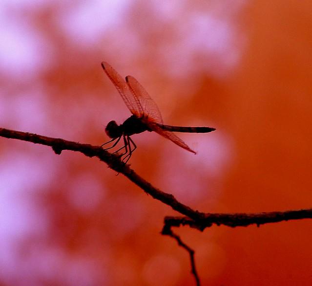 Dragonfly at Dusk I