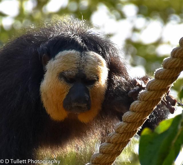 New monkeys at Yorkshire Wildlife Park