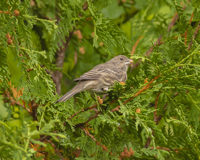 Female House Finch; Rainy mid morning feeding (cedar tree)
