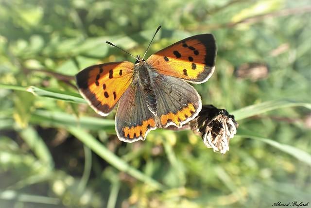 Butterfly 2072 (Lycaena phlaeas)