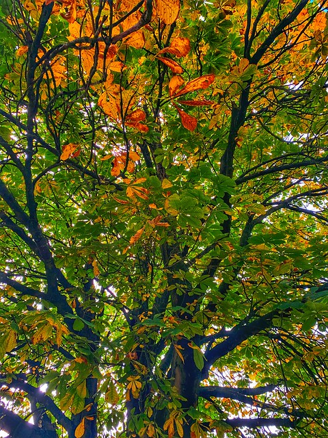 Conker-less Horse chestnut canopy     -     Rossendale district
