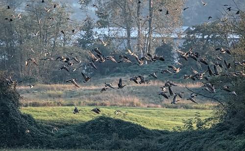 nature outdoor animal bird goose canadageese brantacanadensis barn farm field