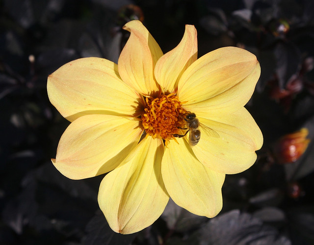 Dahlia 'Yellow Hammer' with a Guest