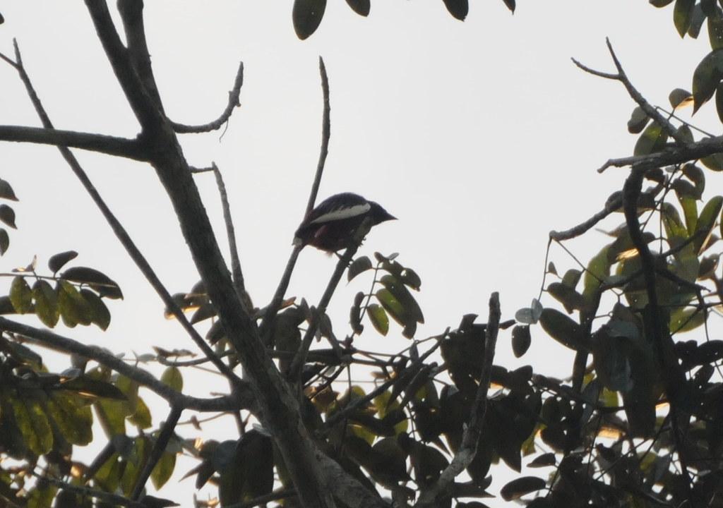 Pompadour Cotinga (Xipholena punicea)