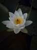 White Water Lily with Hoverfly