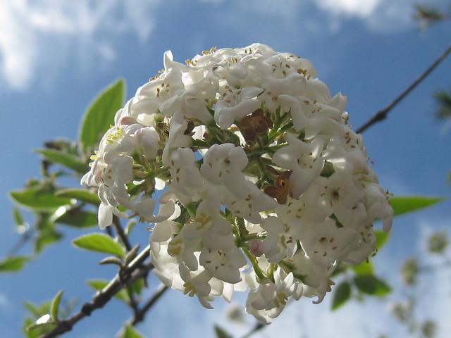 An Arrowwood Blossom Ball